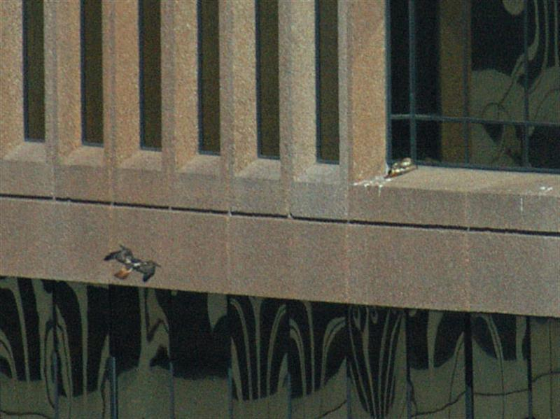 The second hawk has swooped down, and is now approaching the ledge from below. Note the distinctive red tail on the approaching bird. Also noticeable in this photograph is the fact that the two birds have different coloration. The bird on the ledge is lightly colored with large patches of white, while the bird in the air is a much darker brown in color.