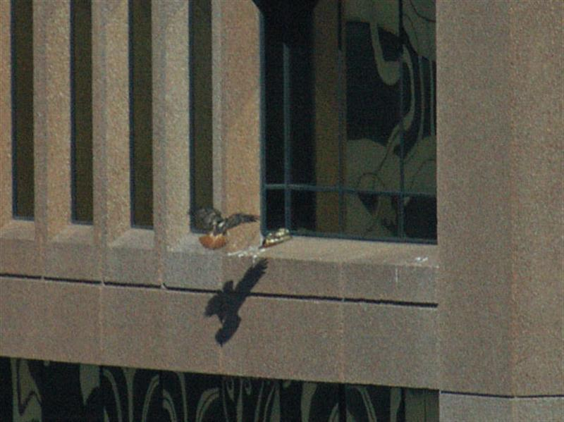 The second hawk about to land. The piece of paper it is carrying is not visible in this picture.