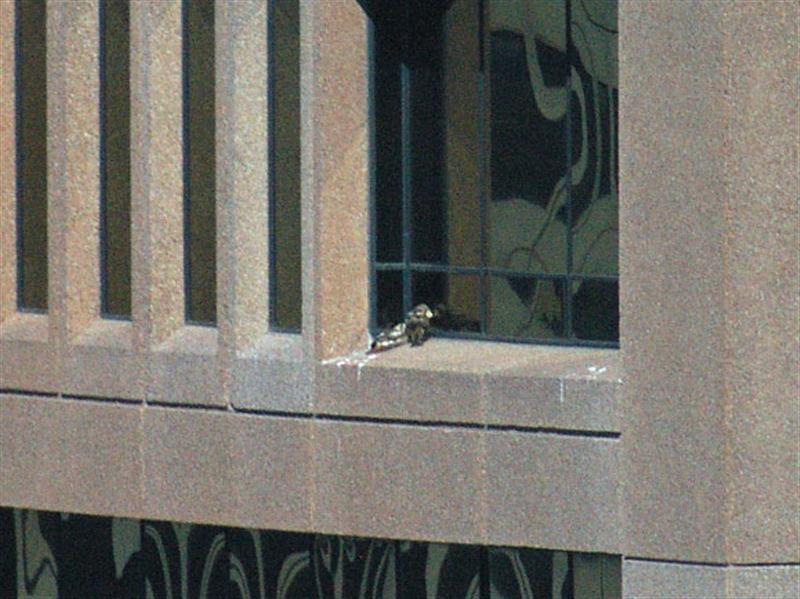 Whenever the dark-colored hawk would arrive with paper, the two birds would take turns manipulating the paper before finally allowing it to drop off the side of the building. That is what is going on in this picture. The dark hawk seems to be trying to interest the other bird in the piece of paper he has brought. On a previous occasion I witnessed the dark hawk bring silver, foil covered paper (obviously a fast food wrapper). Another time, two sheet of white paper were brought at the same time. All pieces of paper were eventually allowed to blow off the ledge as we watched.