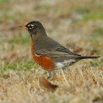 American Robin - Handsome