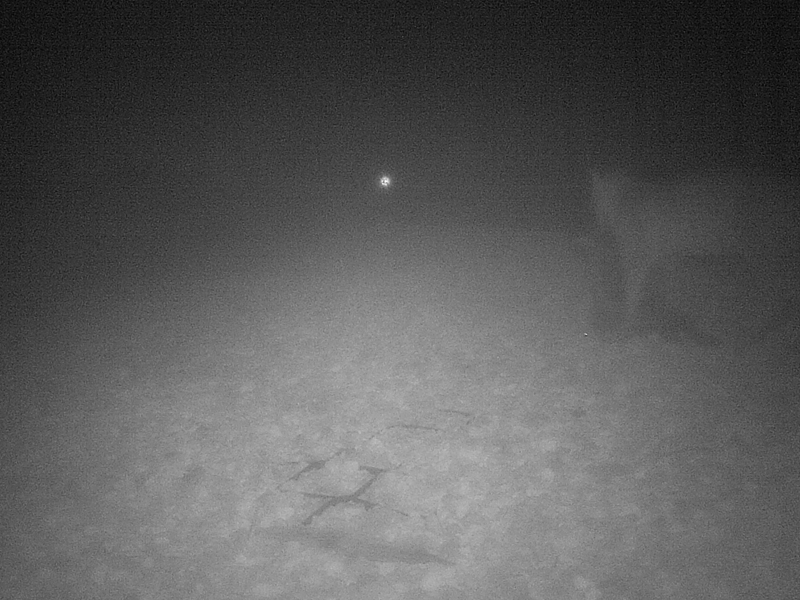 A Bobcat, possibly carrying a prey animal in its mouth.  The heavy fog makes it difficult to be sure.
