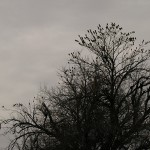 Cedar Waxwings - First of the Season