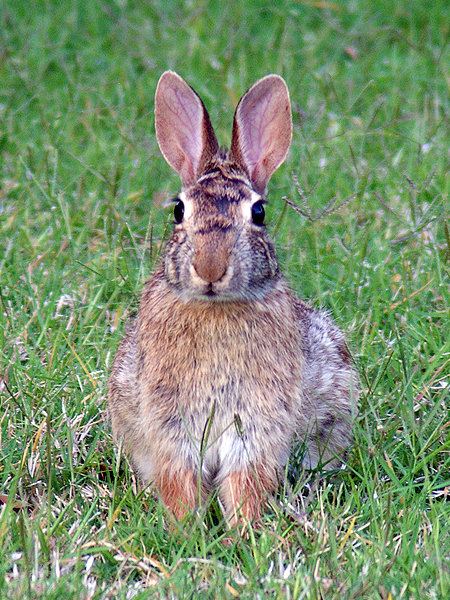 Eastern Cottontail - Grade School