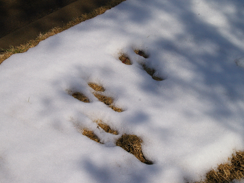 Eastern Cottontail - Snow Prints