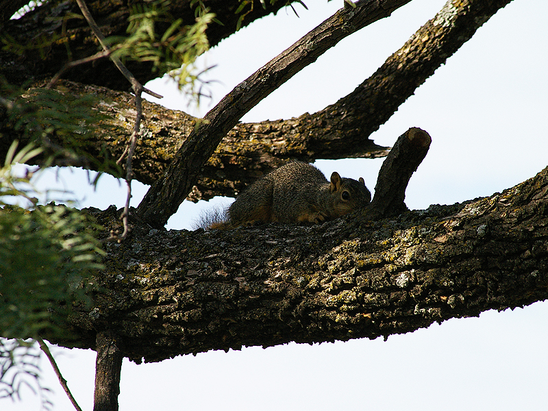 Fox Squirrel - Half-hearted
