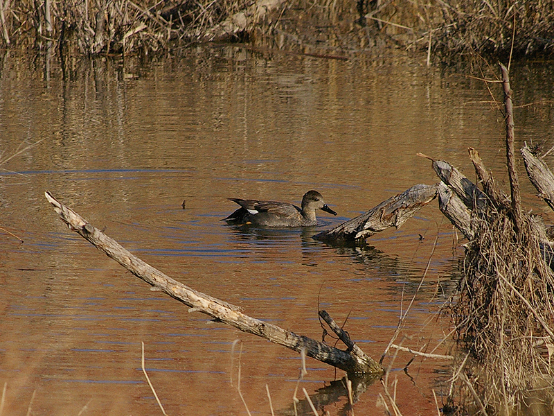 A male Gadwall in Carrollton, Texas.  This male is beginning to develop his breeding coloration.