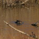 Gadwall - Dabbling Ducks