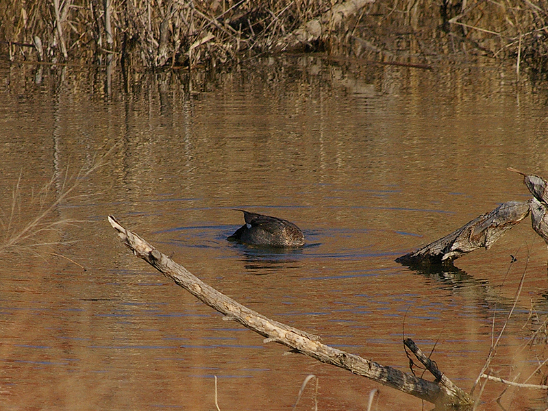 This male Gadwall is searching for food beneath the water's surface.