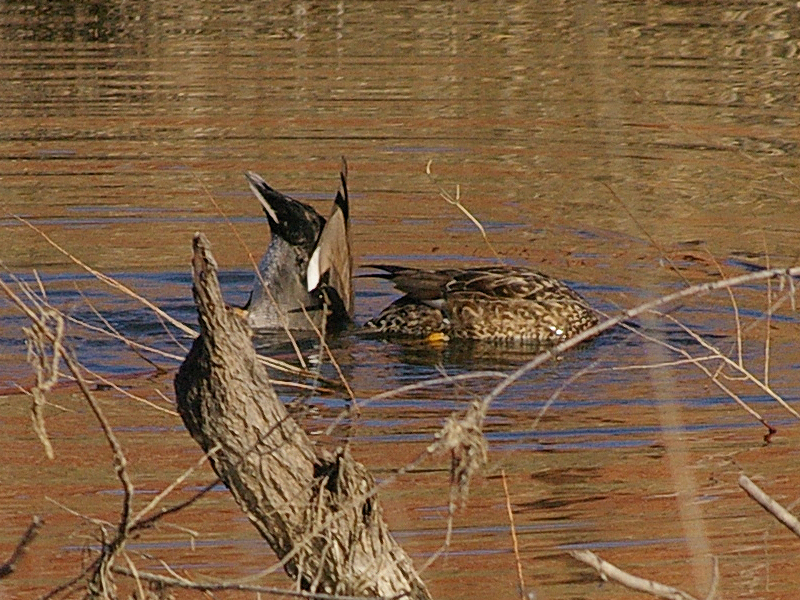 A male (left) and female (right) Gadwall feeding under the surface of the water.
