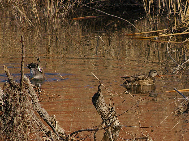 The male Gadwall continues to dabble, while the female swims away.