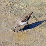 Least Sandpiper - Spillway