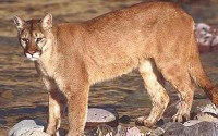 Mountain Lion - If you see one of these ANYWHERE in North Texas please report it to me!!!  The most reliable information I have suggests that there was a confirmed sighting at LLELA (south of the Lake Lewisville dam) in the 1990's.