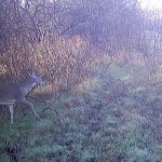 White-tailed Deer - A Doe and a Buck