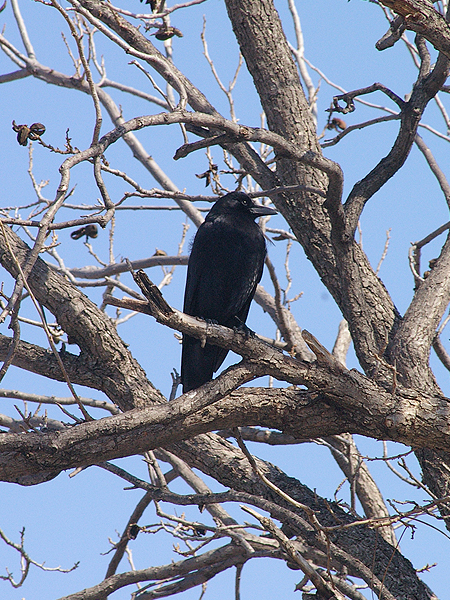 American Crow - Afternoon Rounds