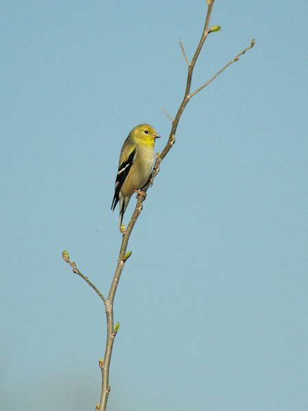 A male American Goldfinch in winter plumage at McInnish Park in Carrollton, Texas.