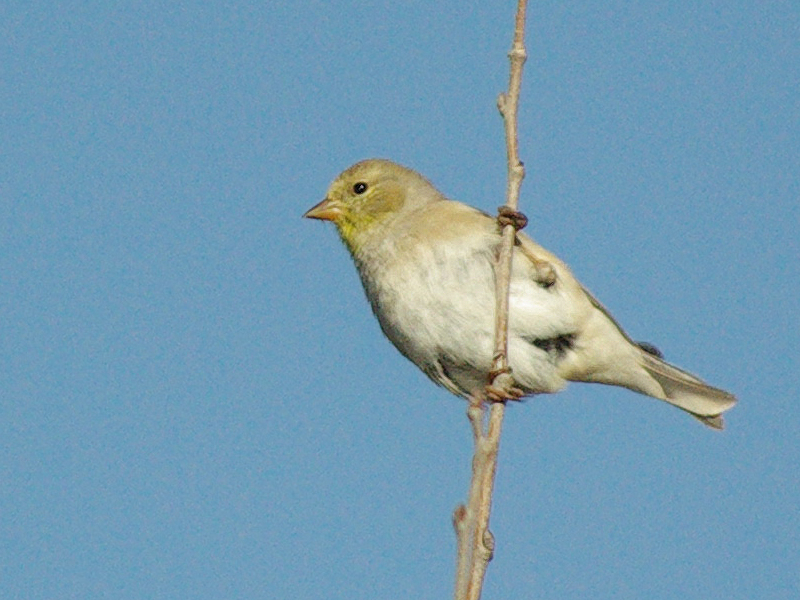 A female American Goldfinch in winter plumage at McInnish Park in Carrollton, Texas.