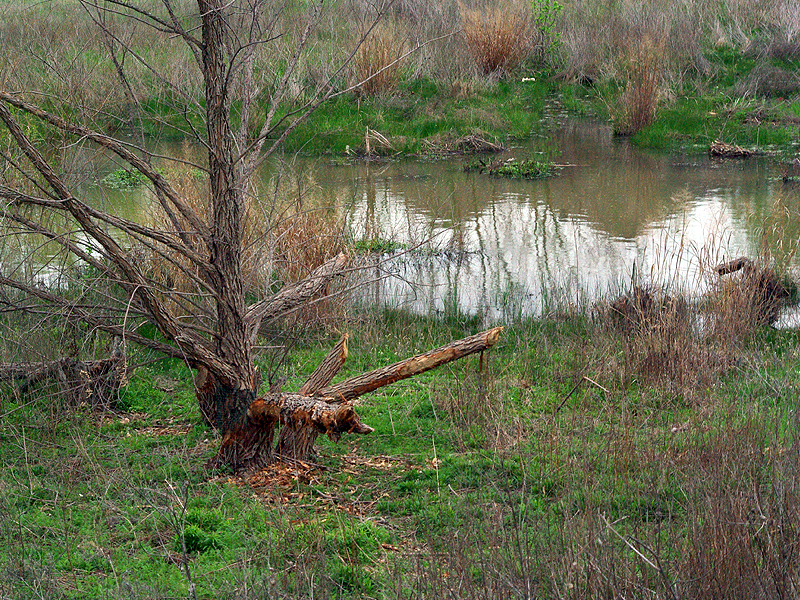 Beaver - Place of Ponds