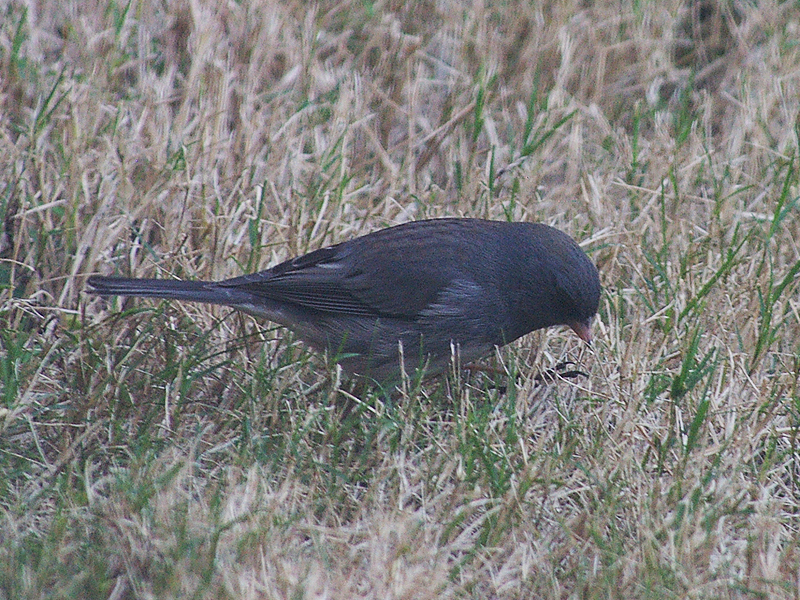 Dark-eyed Junco - Winter Visitor