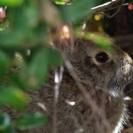 Eastern Cottontail - Hidden?