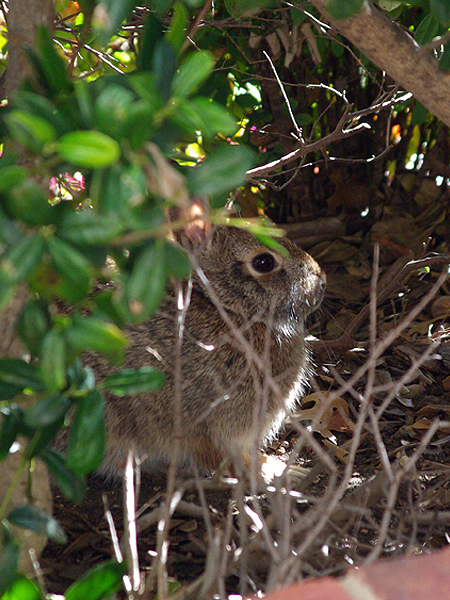 Eastern Cottontail - Hidden?