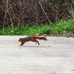 Fox Squirrel - December Mating Behavior