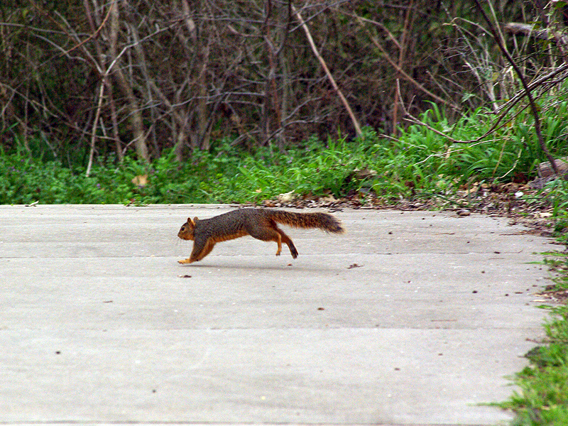 Fox Squirrel - Ups and Downs