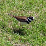 Killdeer - Swimming Pool Chicks