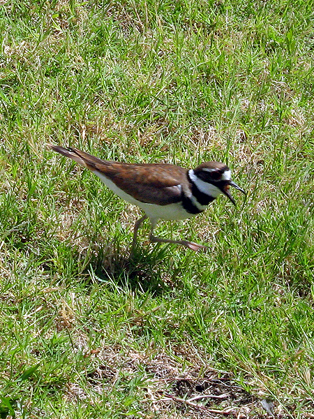 When you wander too close to an active Killdeer nest the attending parent will try to draw you away by noisily feigning a broken wing.  This ploy works well against predators like cats or Coyotes, but is not as effective against large herbivores such as cattle.