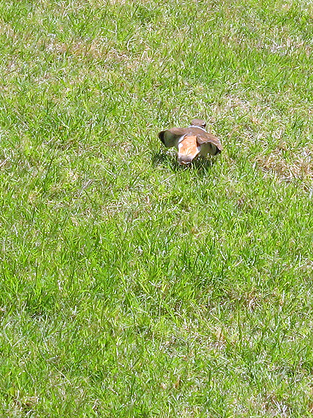 A Killdeer trying to lead us away from its nest by feigning a broken wing.