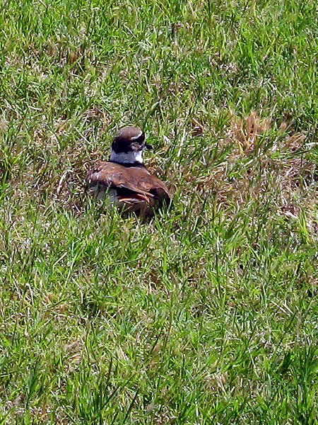 This Killdeer is trying to protect its nest by making itself appear to be an easy target.    It does this by calling out in distress and fluttering its wings as if they are broken—all the while moving further and further away from its young.