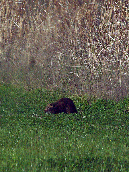 There is a fairly good sized marshy area near the entrance to McInnish Park. As I drove by this area I noticed a large adult Nutria feeding in the lush grass and clover growing between the water and the road.