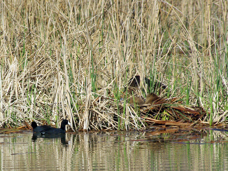 A pair of American Coots swam past the Nutrias.