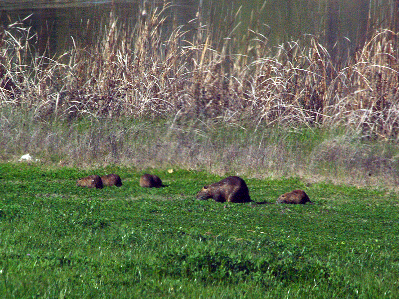 On my way out, I decided to make one more pass by the marsh near the entrance, and I was glad I did. There in the thick green grass of the bank was not one Nutria, but a whole family of them! It was a mother with her five recently weaned kits.