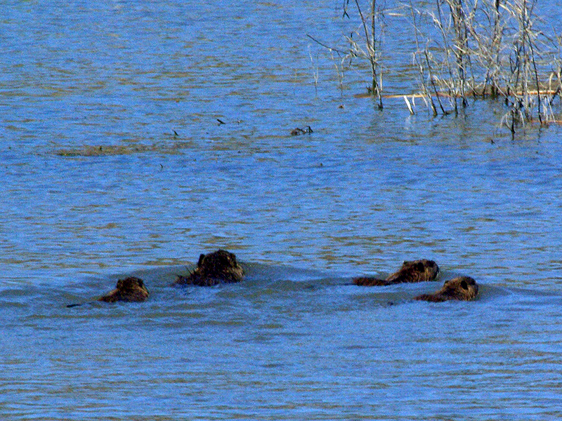 The four nutrias swam for the far side of the pond.