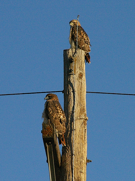 These two Red-tailed Hawks appear to be a male and a female.  The male is perched at the top of the pole.  The larger female is on the crossbar.