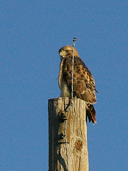 The male Red-tailed Hawk is slightly smaller than the female.