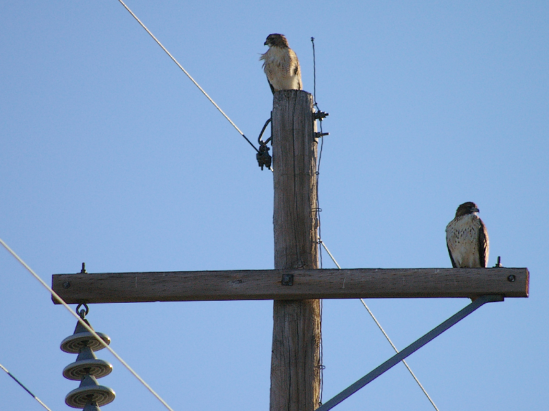 These two hawks seemed to be waiting for just the right opportunity to strike the Rock Doves foraging just below them.
