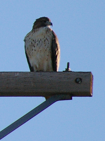 A female Red-tailed Hawk in Richardson, Texas.