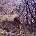 White-tailed Deer - Trail Walker