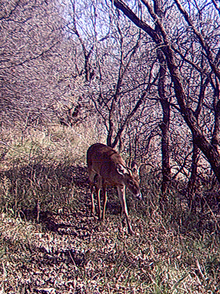 White-tailed Deer - Trail Walker