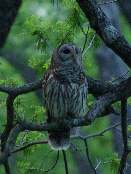 Barred Owl - At Dusk