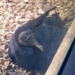Black Vulture – Nest Update 2