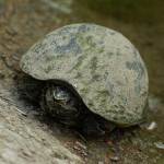 Common Musk Turtle - Between Here and There