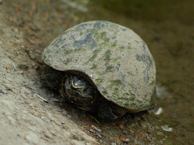 I found this female Common Musk Turtle on the White Rock Bike Trail in the Lake Highland area of Dallas, Texas.