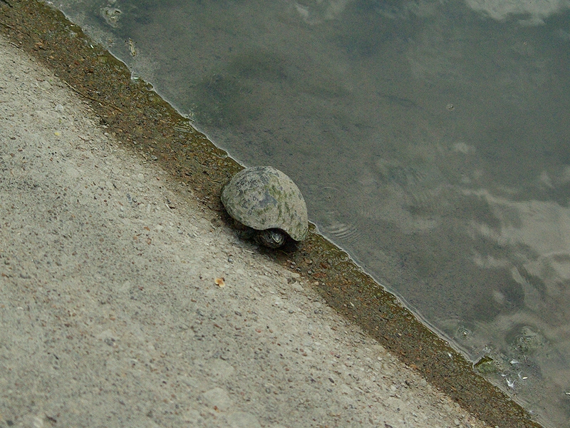 The turtle was found on a part of the trail that crosses over a small pond.