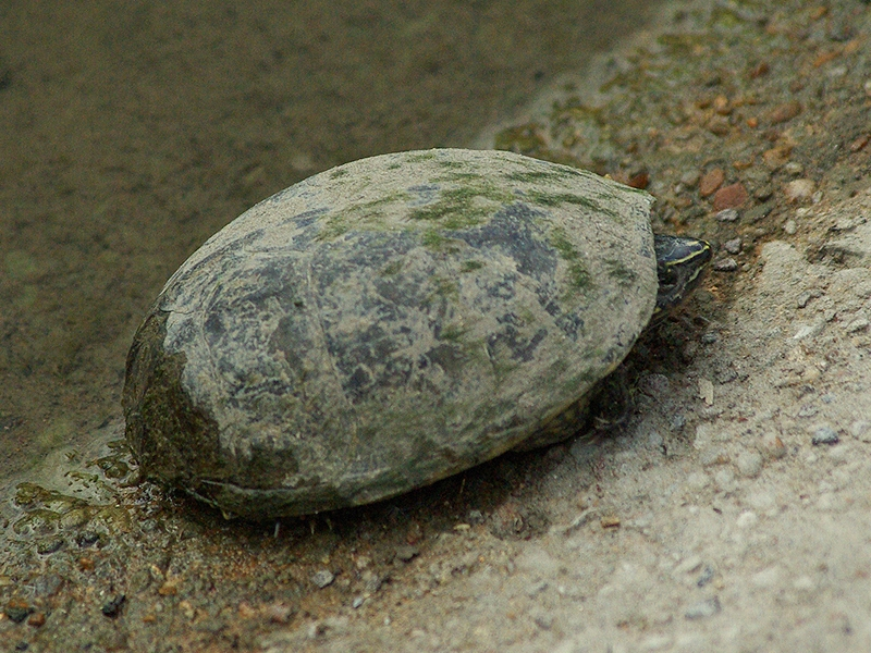 The turtle had climbed out of the water and onto the concrete presumably to sun herself.