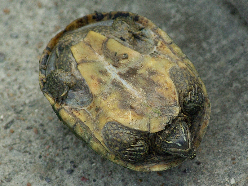 Another picture of the underside of a female Common Musk Turtle.