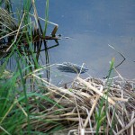 Common Snapping Turtle - Tortue Amour
