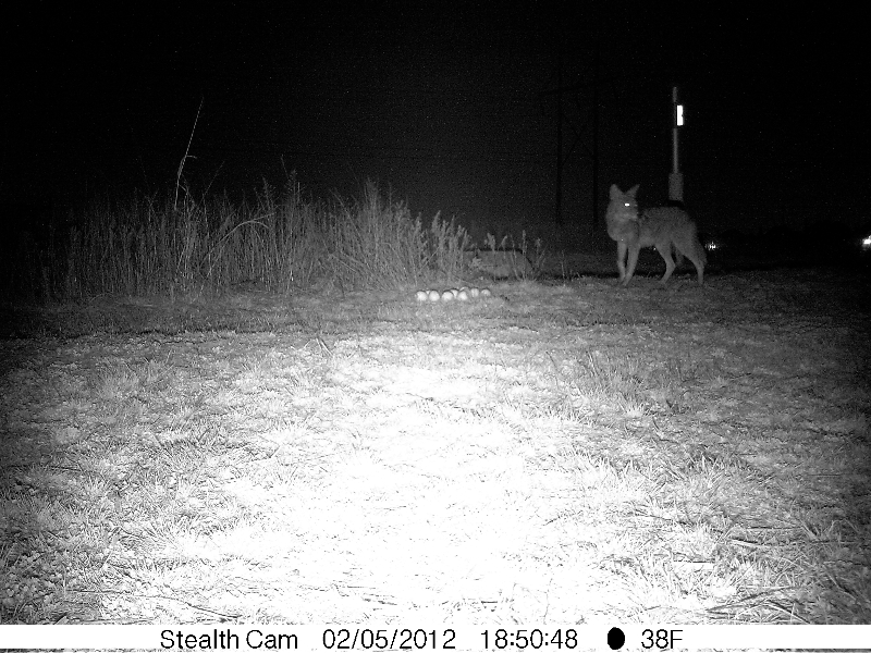 Coyote - Apple Cache