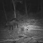 Feral Hog - Lake Highlands Update